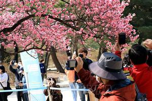 Hoa anh đào nở sớm nhất từ trước đến nay ở Seoul, Hàn Quốc