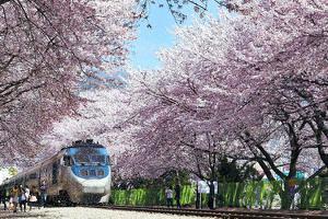 9 Lễ hội hoa anh đào đẹp nhất Hàn Quốc